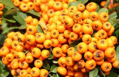 Seabuck thorn oil