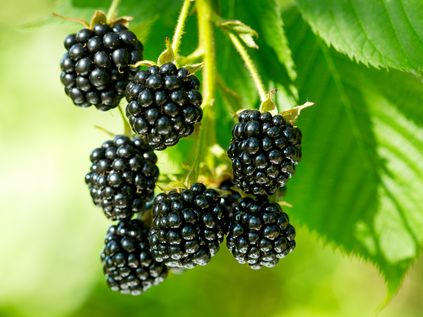 Blackberry oil