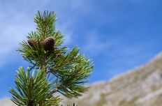 Mountain pine oil